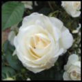 Remembrance Rose